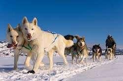Yukon Dog Sledding